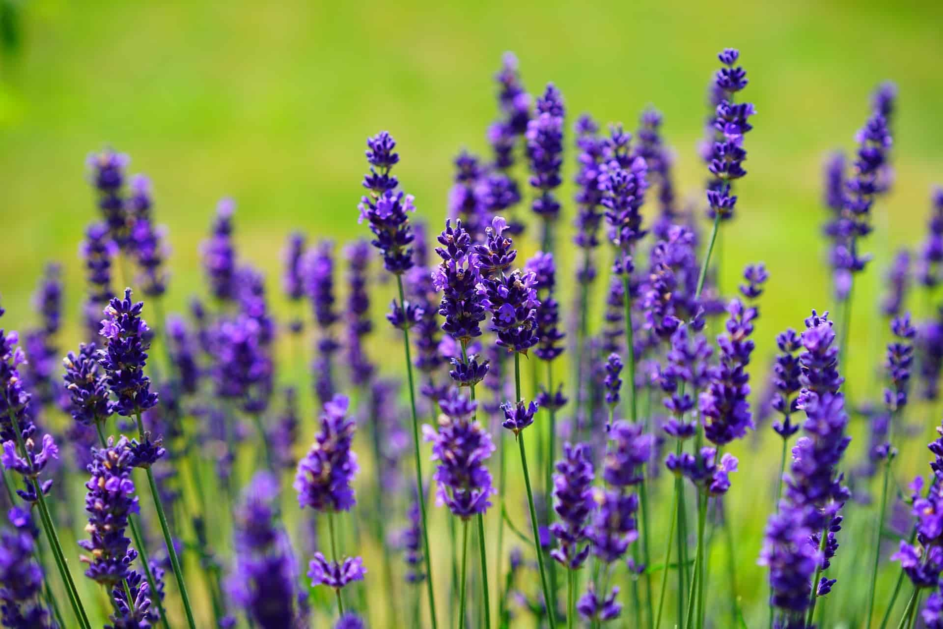What is lavender oil good for
